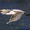 Egret  In Flight over Water