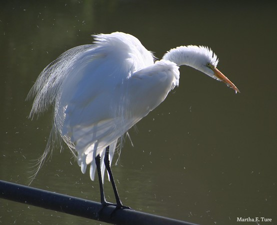 Great egret, breeding plumage, aigrettes