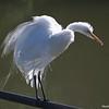Great egret, breeding plumage, aigrettes
