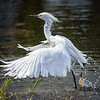 Snowy Egret shaking off water after taking a bath