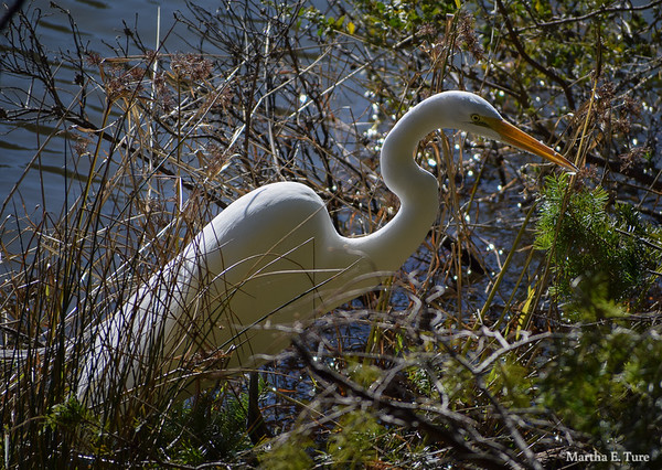 Great Egret Stalking