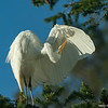 Great Egret Preening, Head Inverted