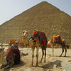Camels strike a pose under the Great Pyramid of Giza.