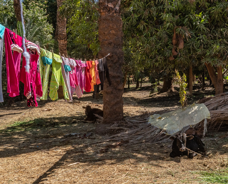 Mango grove with cattle and solar clothes dryer