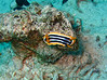 "Known as the ""Pyjama Nudibranch"" in the Red Sea, it is one of the more commonly encountered species."