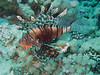 The reefs are covered with Lion Fish, in one dive we had 10 in front of us at one time!