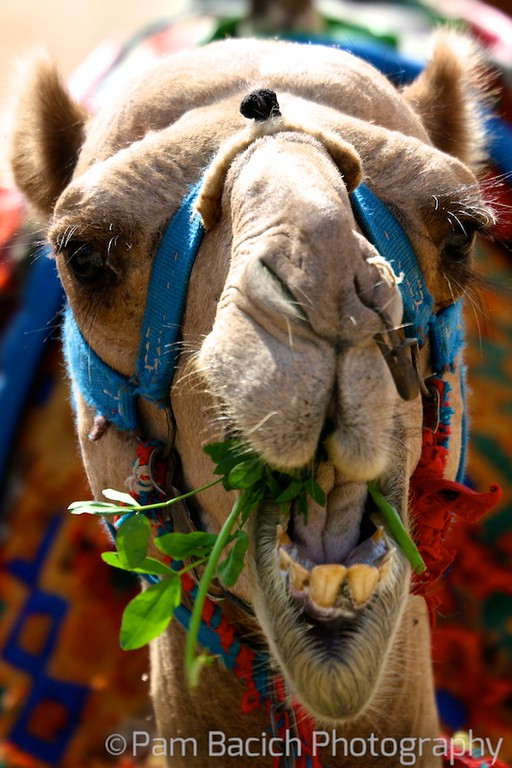 Hungry Camel