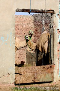 Camel x 2