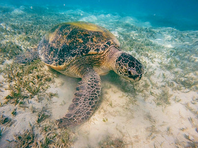 Adult green sea turtle (Chelonia mydas)