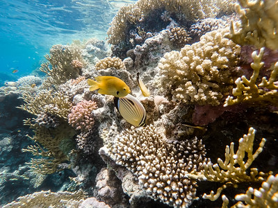 Sulphur Damselfish and Blacktail butterflyfish fish on coral garden in red sea, Egypt