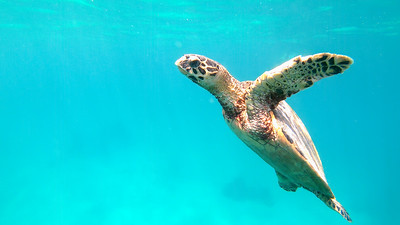 cute green sea turtle (Chelonia mydas)