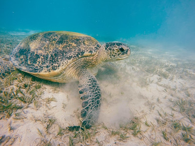 big Adult green sea turtle (Chelonia mydas)