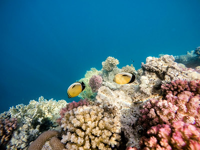 Blacktail butterflyfish on Coral garden in red sea, Marsa Alam, Egypt
