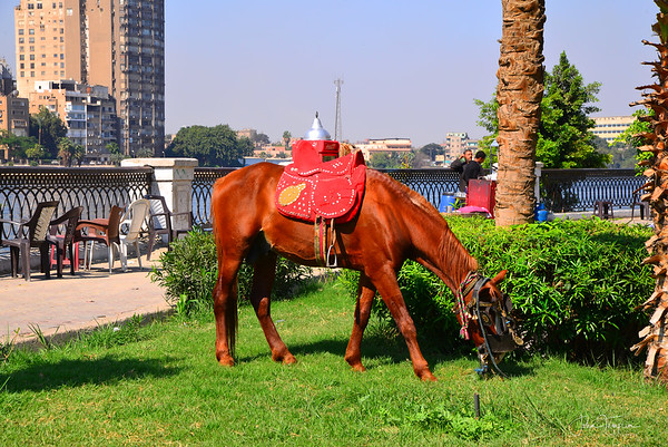 Grazing along the Nile