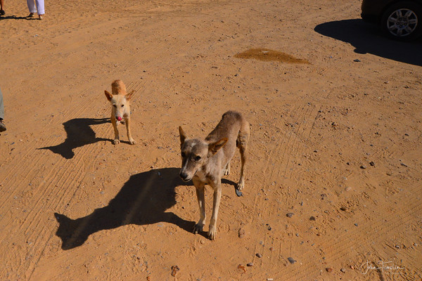 Hungry dogs greeted us at the Mastaba tombs near Saqqara