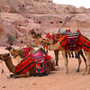 6 camels ready for action