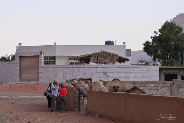 Rum Village camels