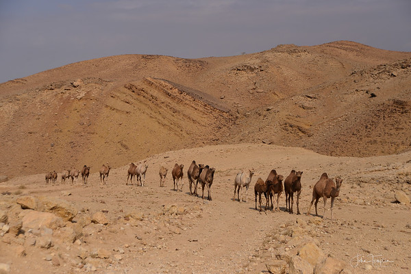 Camels on Parade