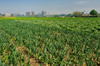 Fields of agriculture on Gold lsland, Cairo, Egypt.