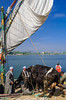 Cows on a felucca sailboat crossing the Nile River to Gold Island, Cairo, Egypt.