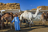 Herds of camels are brought to the Birqash Camel Market to be sold to the highest bidder, near Cairo, Egypt.