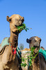 Snack time for two young camels at the Birqash Camel Market, near Cairo, Egypt.