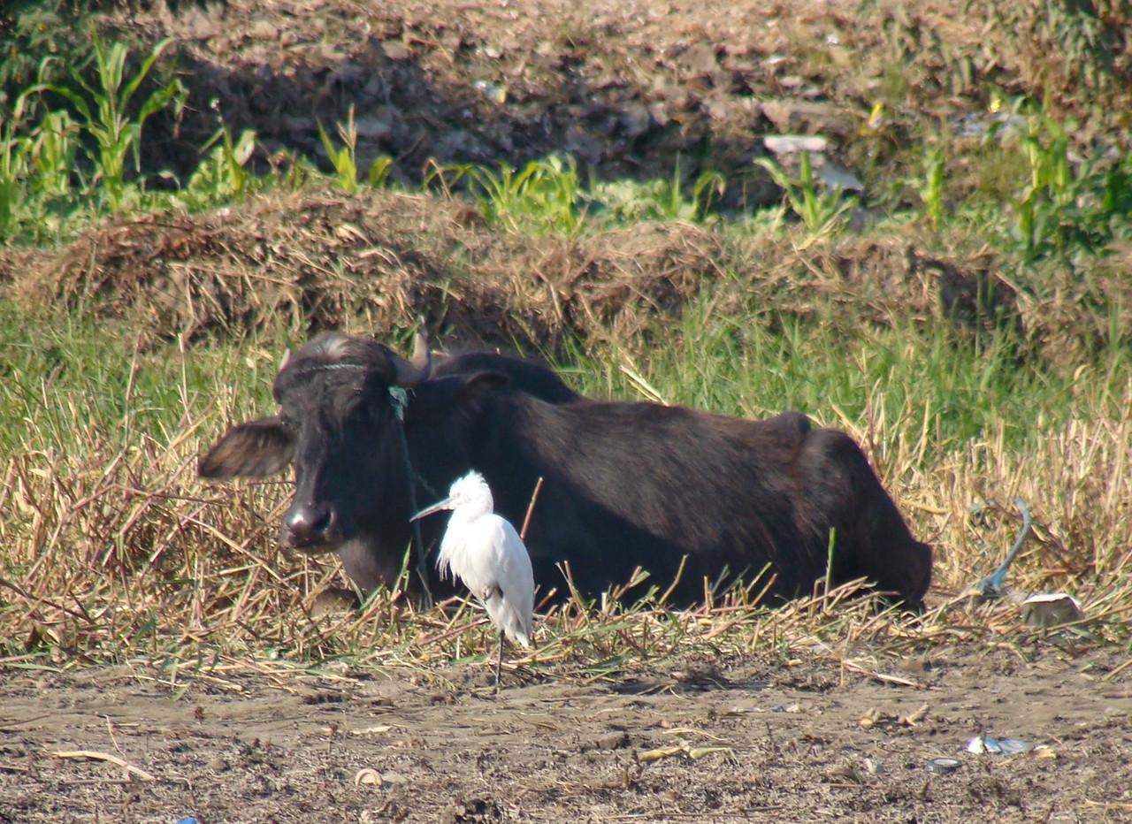 Bull and Bird