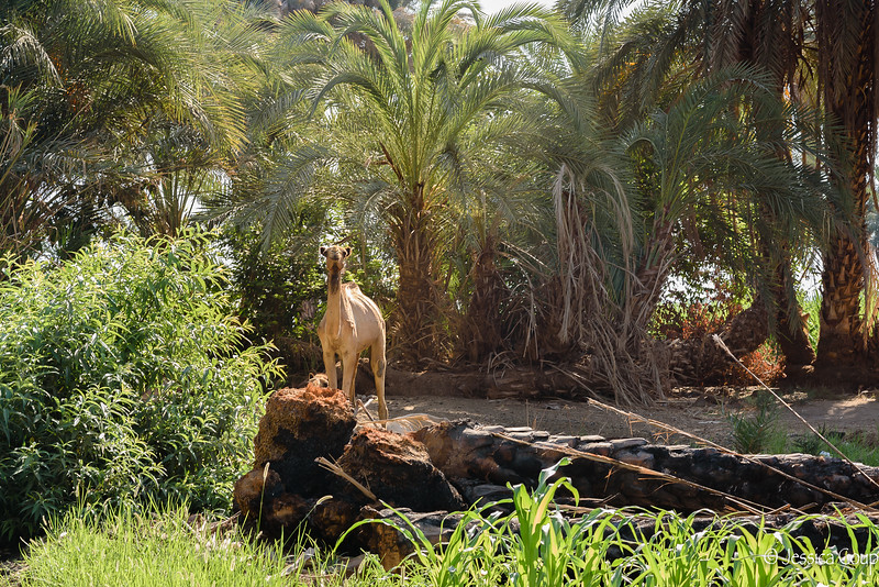 Camel Along the Shore Line