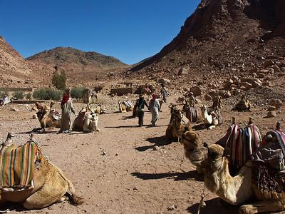 mt-sinai-camels