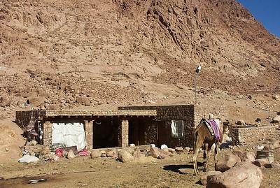 mount-sinai-camels-2