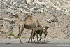 Mama & Baby Camel walking down road