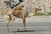 Camel Stroll