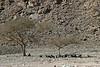 Goat Herd in Desert