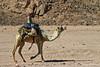 Bedouin & Camel