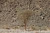 Lonely Tree in Sinai Desert