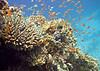 Corals, Red Sea