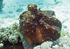 Octopus. Soma bay, Red Sea