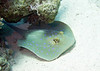 Bluespotted Ribbontail Ray, Red Sea