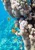 Corals, Soma bay