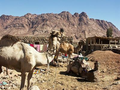 sinai-egypt-camels