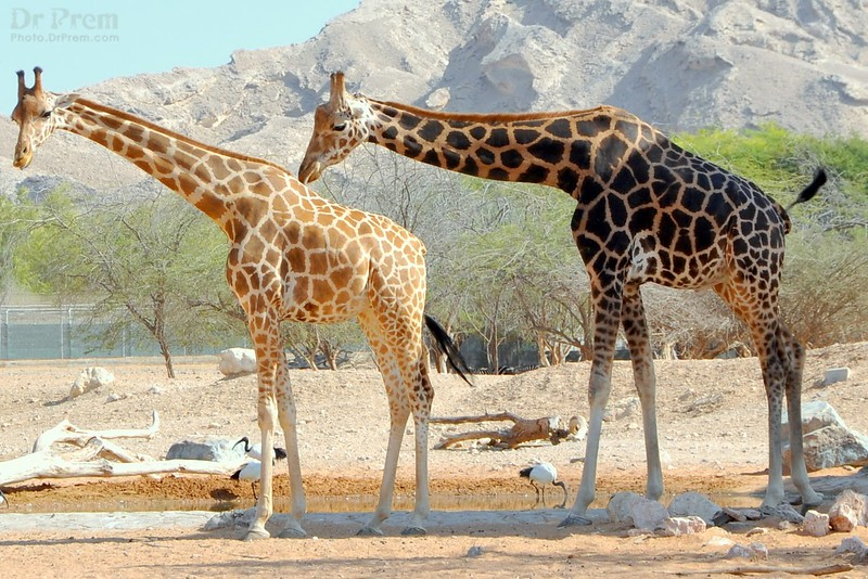 The giraffes tower over the birds signifying how life teaches us to mingle freely without a care. One wrong step could crush the lowly beings yet the mighty friend knows that these can escape. The coming together of opposites is indeed a wonderful thing to reflect upon.