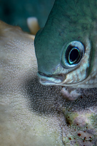 Damselfish with Eggs