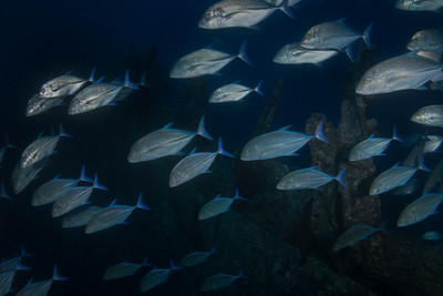 Trevally on the Thistlegorm Wreck