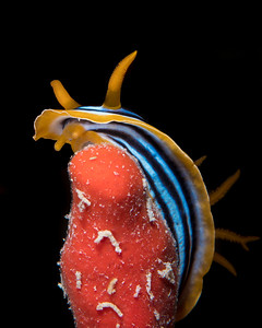 Nudibranch - Chromodoris quadricolor