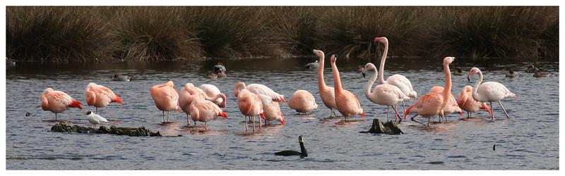 Flamingo's Zwillbrock