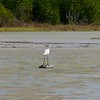 Only Egret with black legs and beak.
