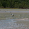 I am not sure which egret this is, possible Reddish Egret