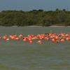 Flamingos in brackish water of Rio Lagartos estuary near El Cuyo