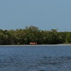 Red Mangrove tidal estuary