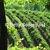 Boeger Vineyards in Spring